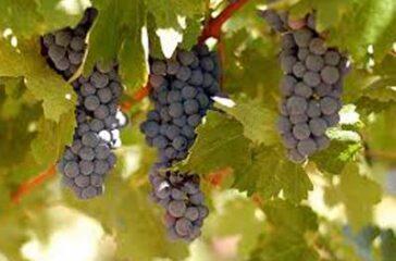 oregon-grapes-580