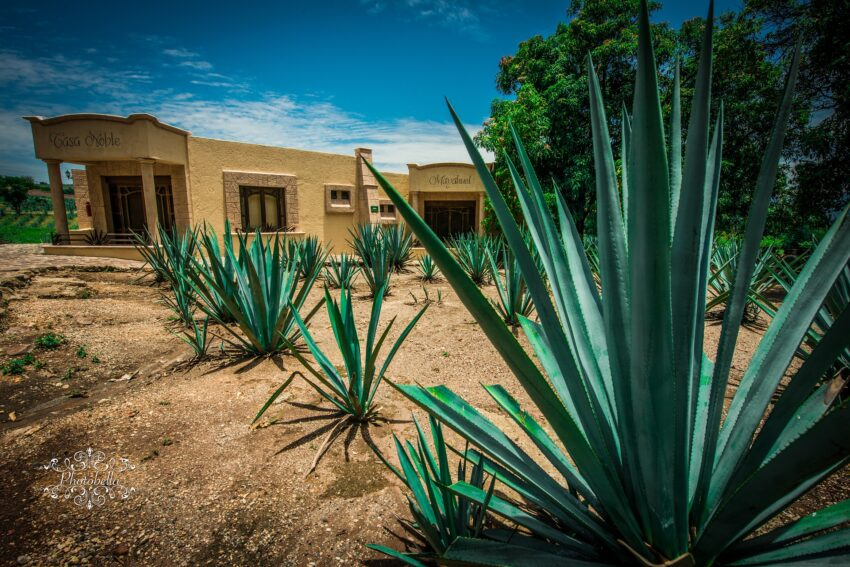 Tequila was first produced in the 16th century near the location of the city of Tequila, which was not officially established until 1666. A fermented beverage from the agave plant known as pulque was consumed in pre-Columbian central Mexico before European contact.