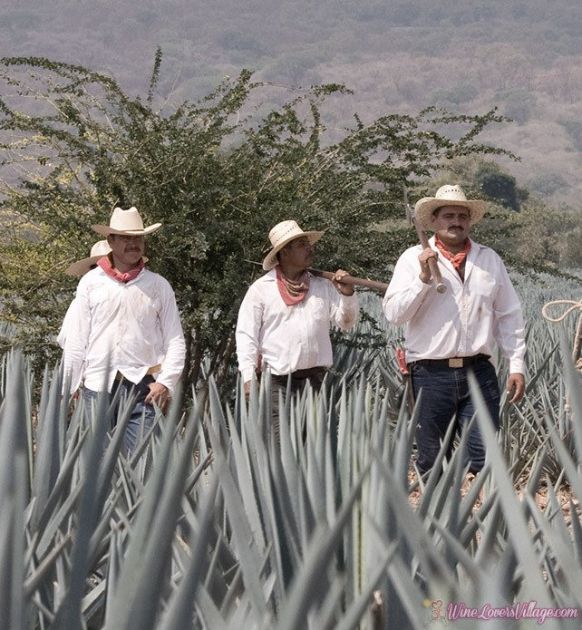 Jose Cuervo has been making tequila for over 250 years.