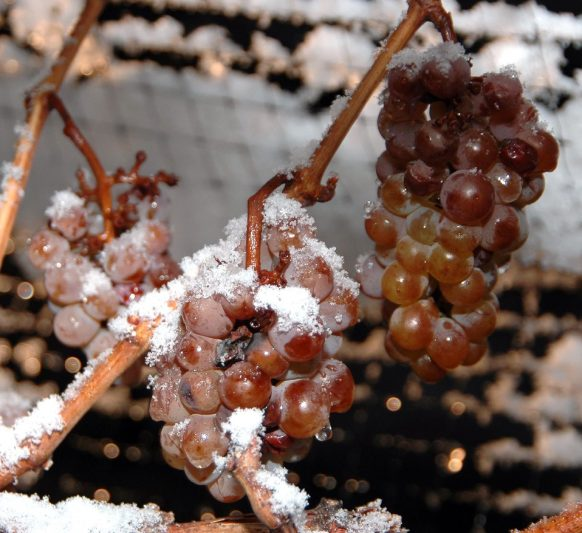Ice wine grapes, frozen on the vine. Niagara Peninsula, Canada.